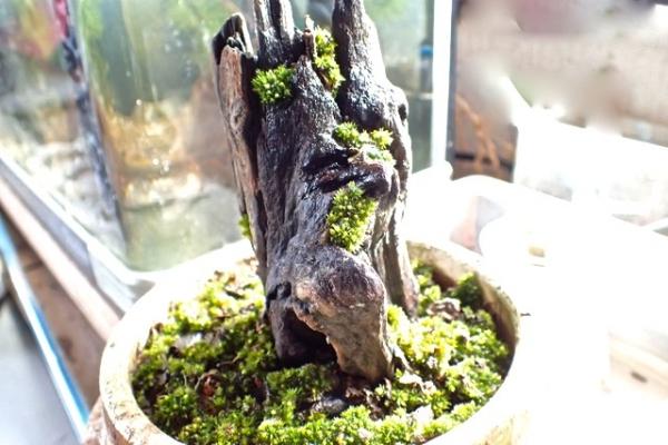 タチヒダゴケ(苔盆栽)