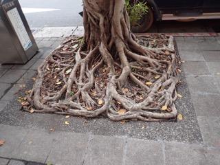 街路樹の根