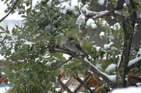 雪のヒヨドリ