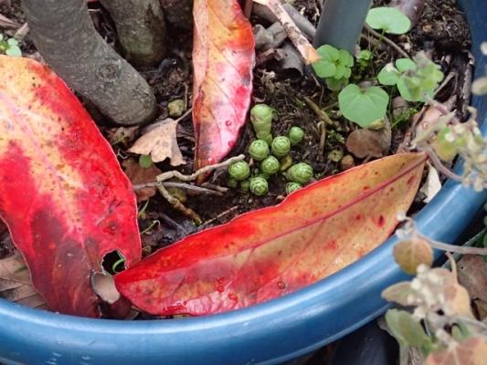 サンゴジュの葉