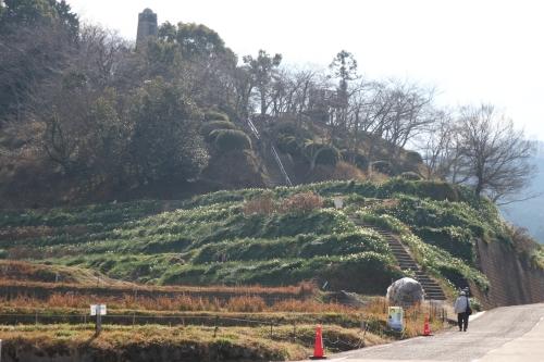スイセンの丘