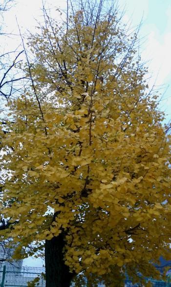 銀杏の木 350