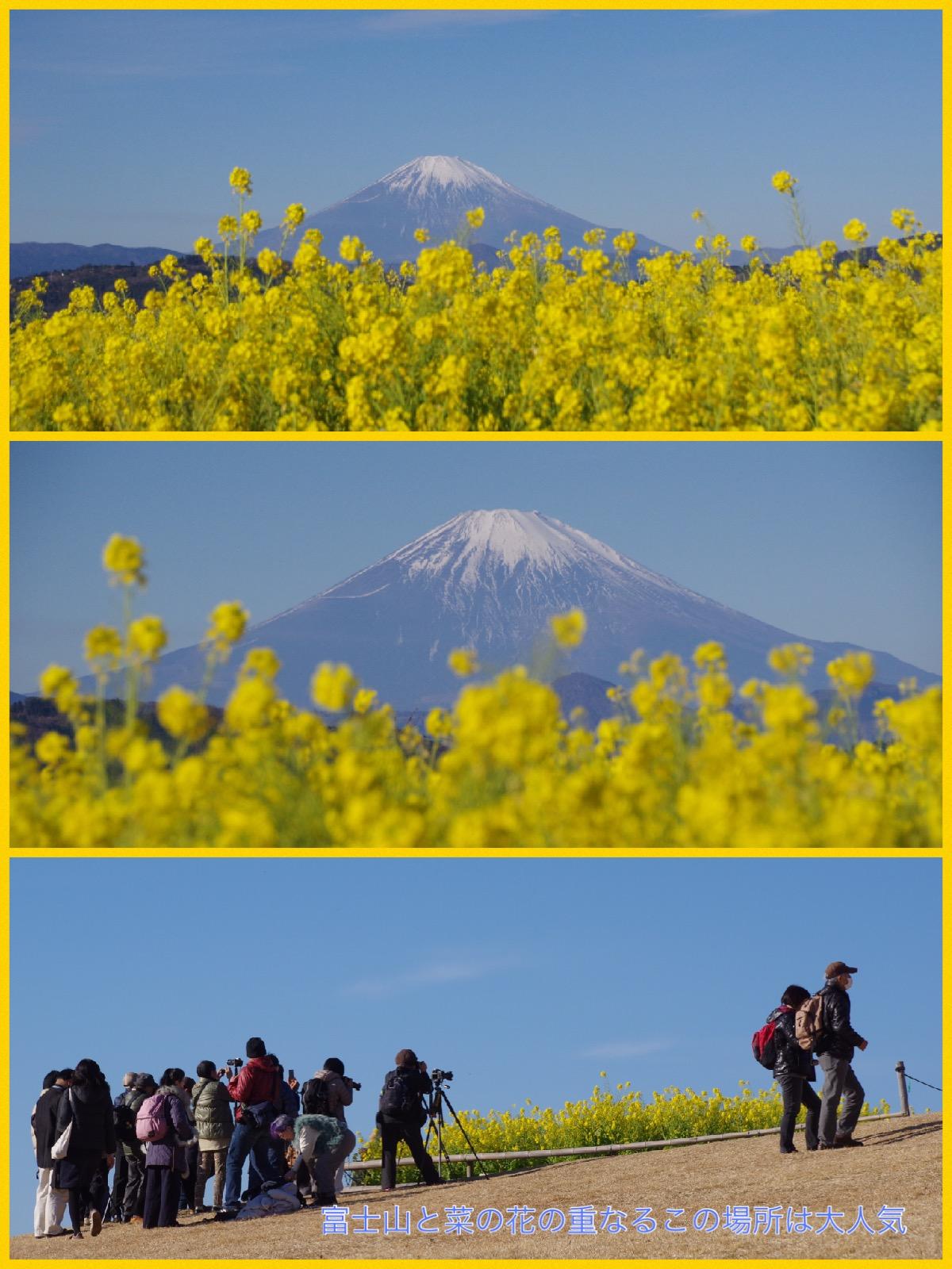 神奈川県二宮町 吾妻山公園 菜の花