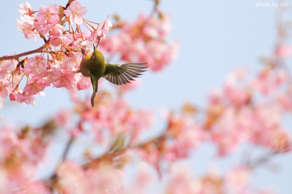 河津桜とメジロちゃん♪_8