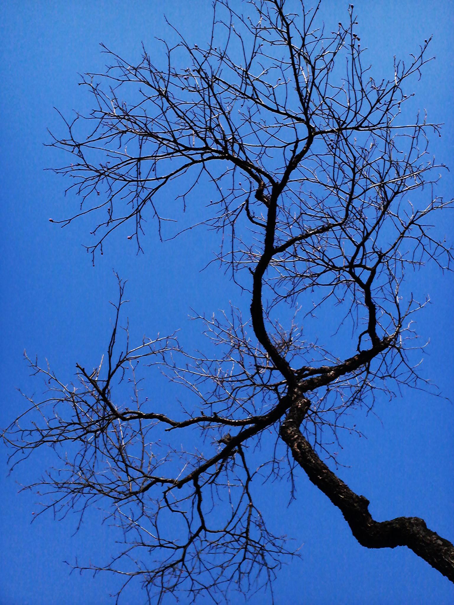 冬枯れの梅