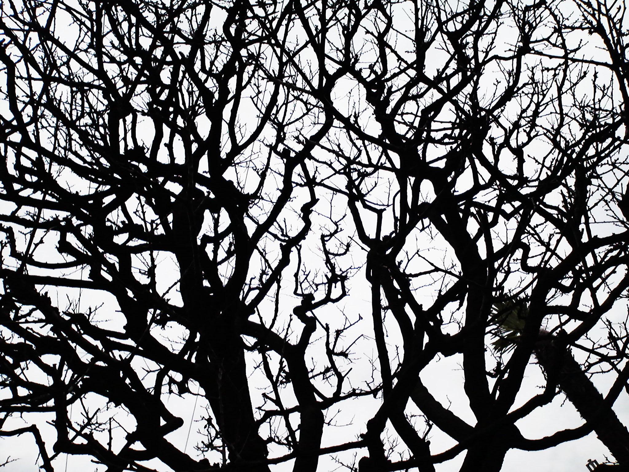 近所の梅の木