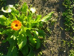 [写真]花畑に咲いたキンセンカの花