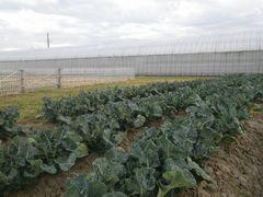 [写真]三郎畑(ブロッコリー)の様子