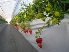 [写真]紅ほっぺの二番花房の様子