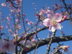【写真】小糸川沿いに咲いた河津桜