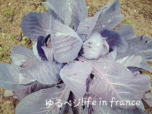 紫キャベツ20160205