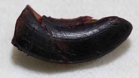 左後ろ足の爪の怪我17
