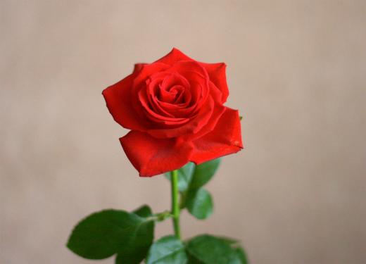 s-771-赤いバラ