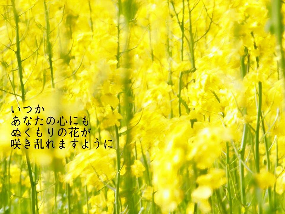 いつかあなたの(菜の花)