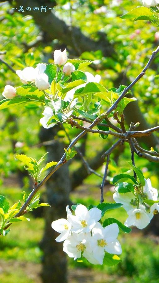 DSCN0528-20160130りんごの花900