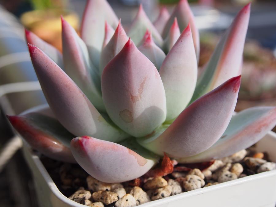 原種コロラータ2-3-①
