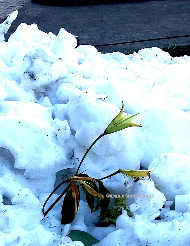 雪の中に百合
