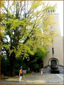 20151216 銀杏 2  銀杏と山茶花