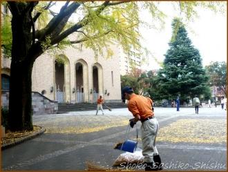 20151216 銀杏 4  銀杏と山茶花