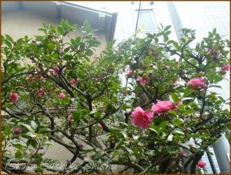 20151216 山茶花 1  銀杏と山茶花