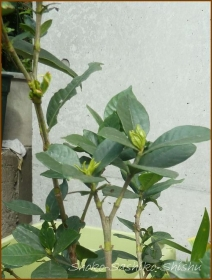 20160109  外 1  葉から芽
