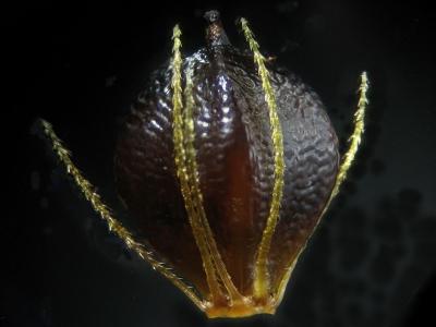 ヒメカンガレイの痩果