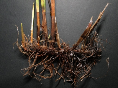 ヒメカンガレイの根茎