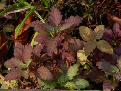 紅葉するエゾシロネ