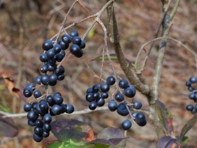 ミヤマイボタの果実