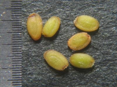 ミズタネツケバナ 種子