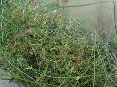 ツルナシコアゼガヤツリ