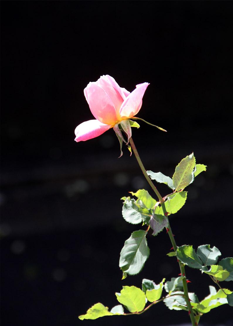 12月11日のバラ模様(1)