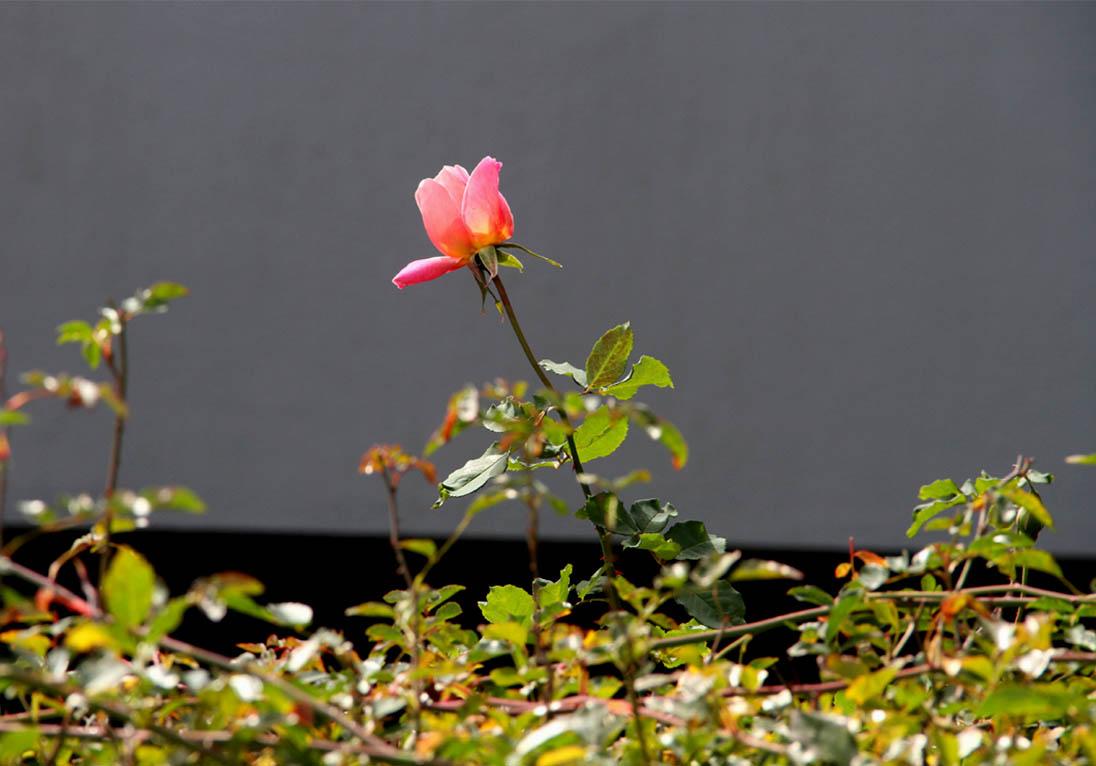 12月11日のバラ模様(2)