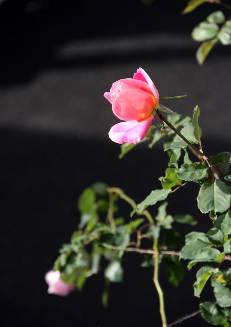 12月11日のバラ模様(3)