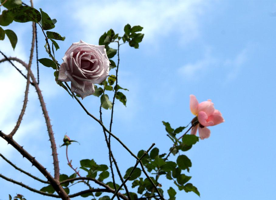12月17日のバラ模様(2)
