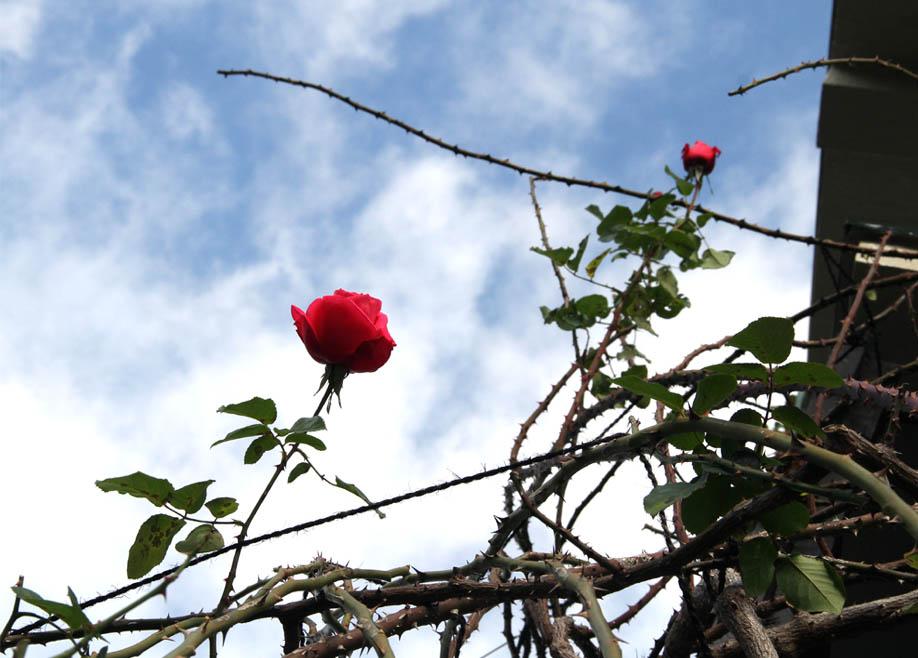 12月17日のバラ模様(5)