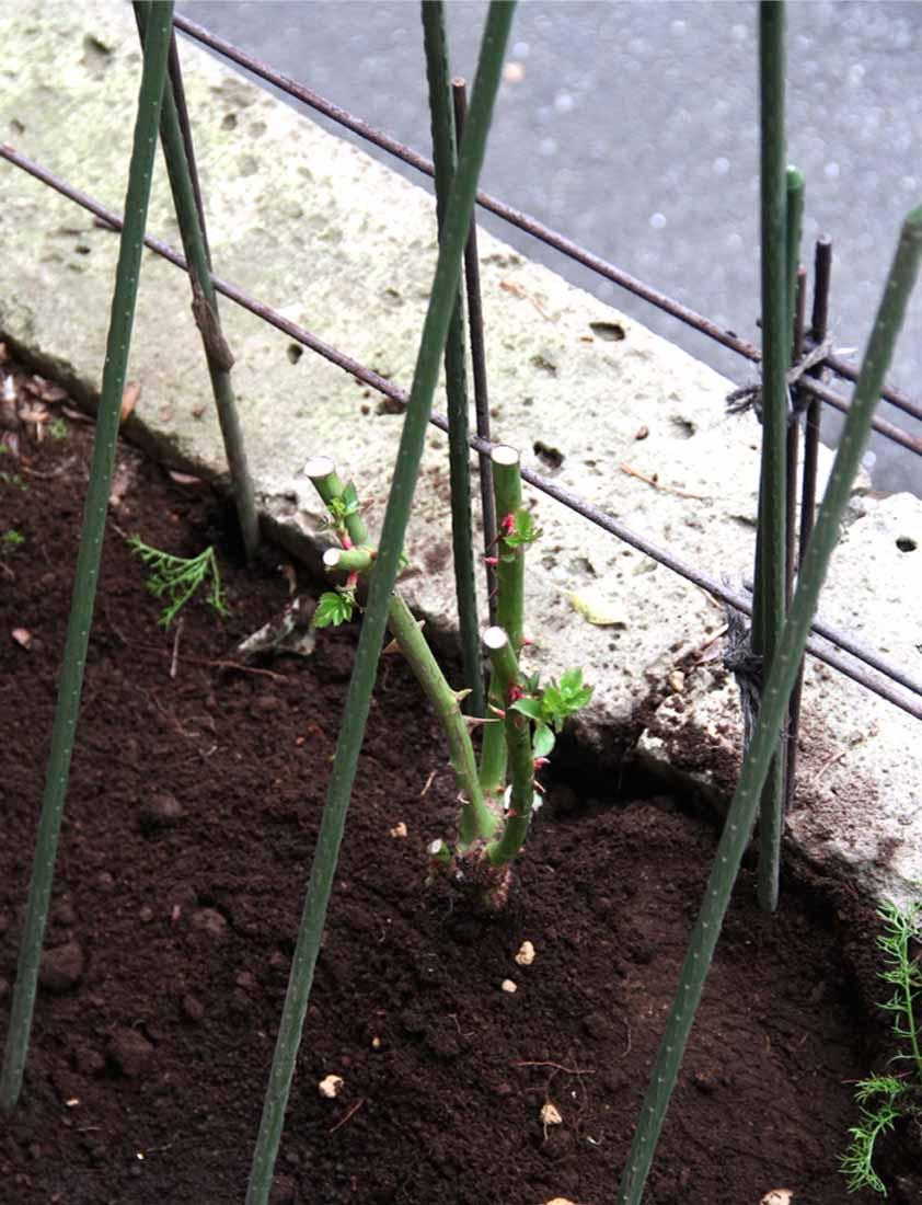 大苗の植え付け(2)