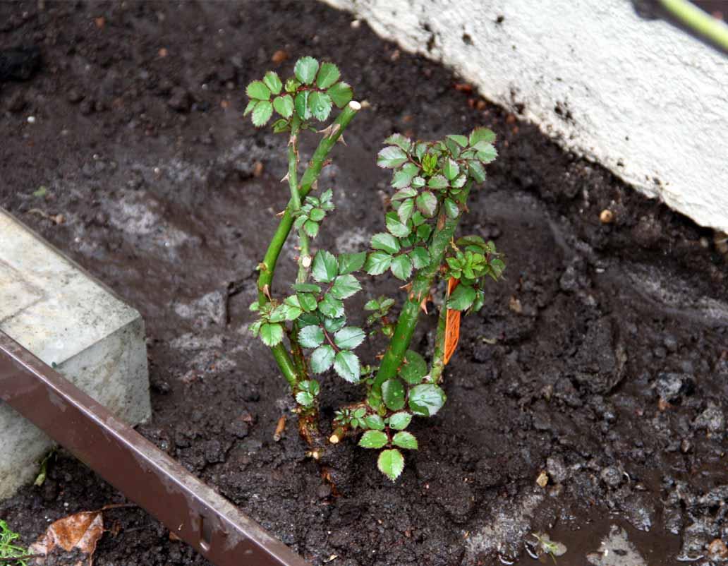 大苗の植え付け(4)