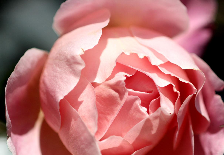 1月5日のバラ(1)