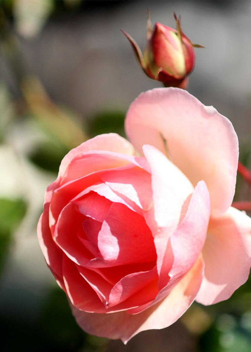1月5日のバラ(2)