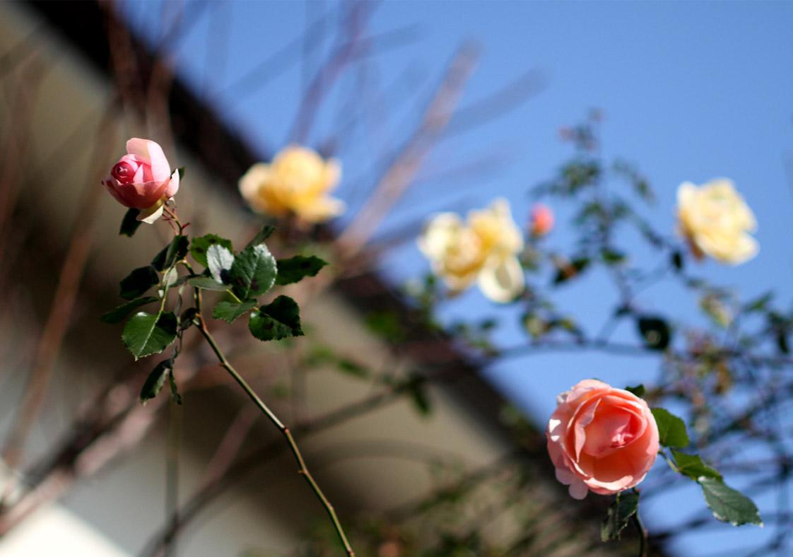 1月5日のバラ(4)