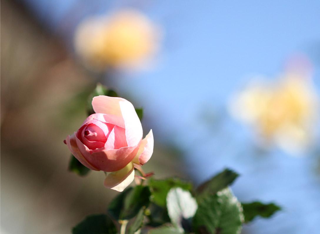 1月5日のバラ(5)