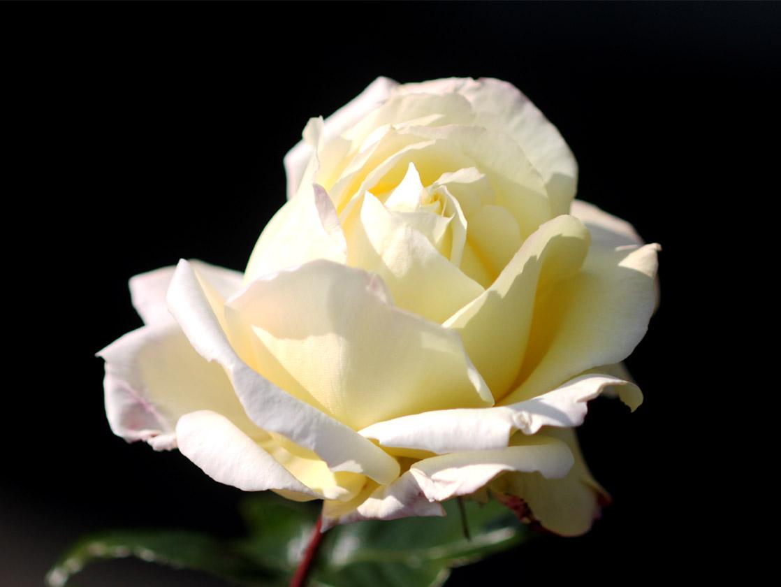 1月5日のバラ(8)