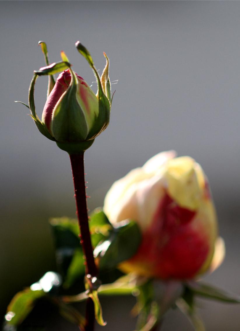 1月5日のバラ(9)