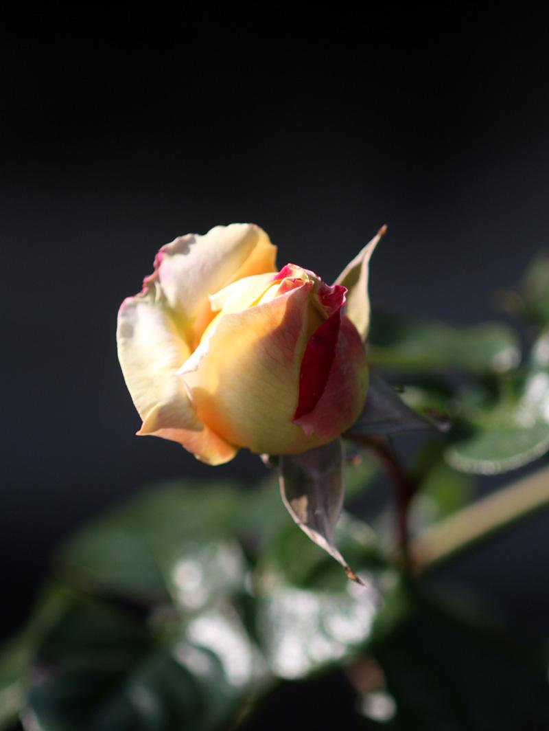 1月5日のバラ(10)