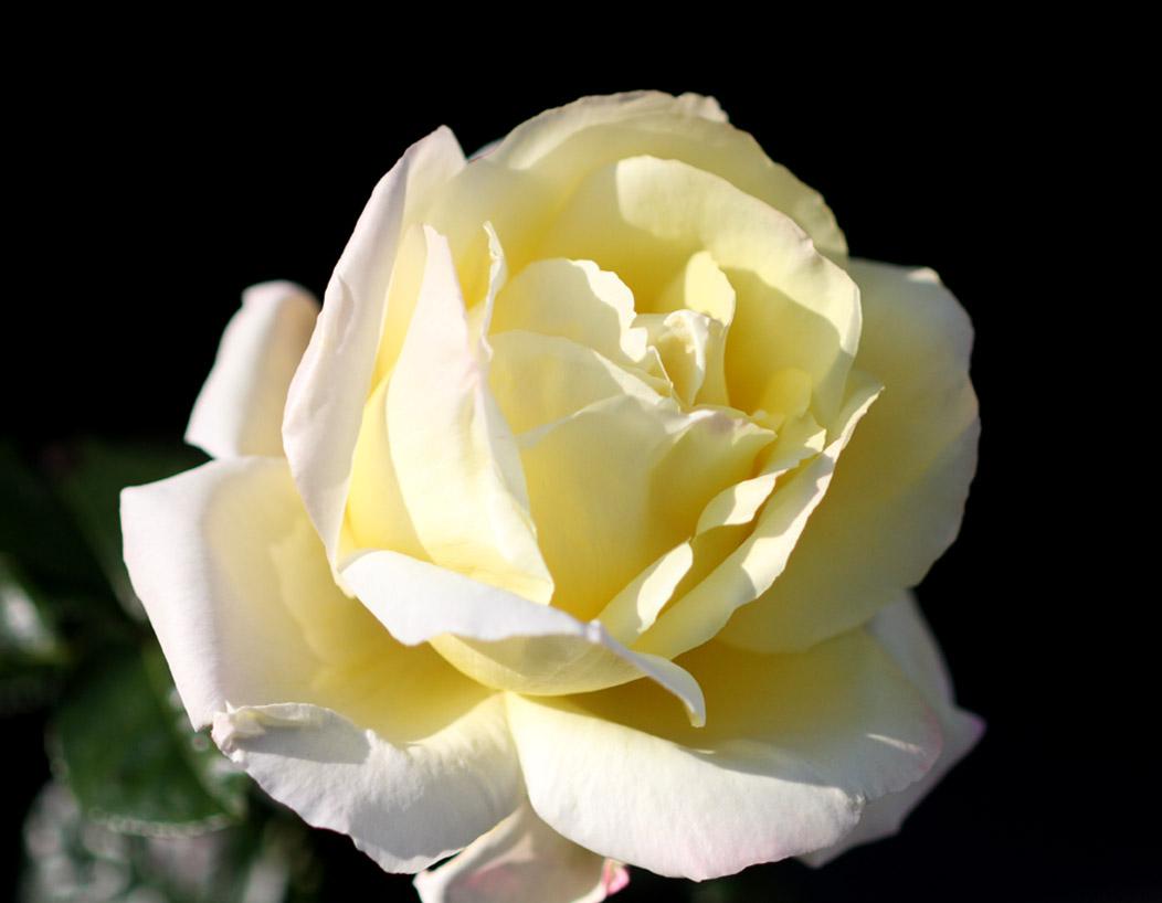 1月5日のバラ(11)