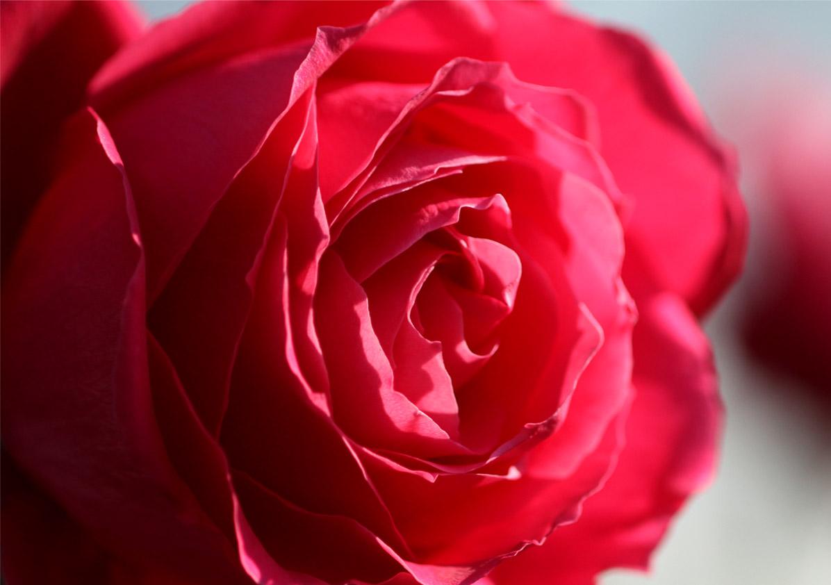 1月5日のバラ(12)