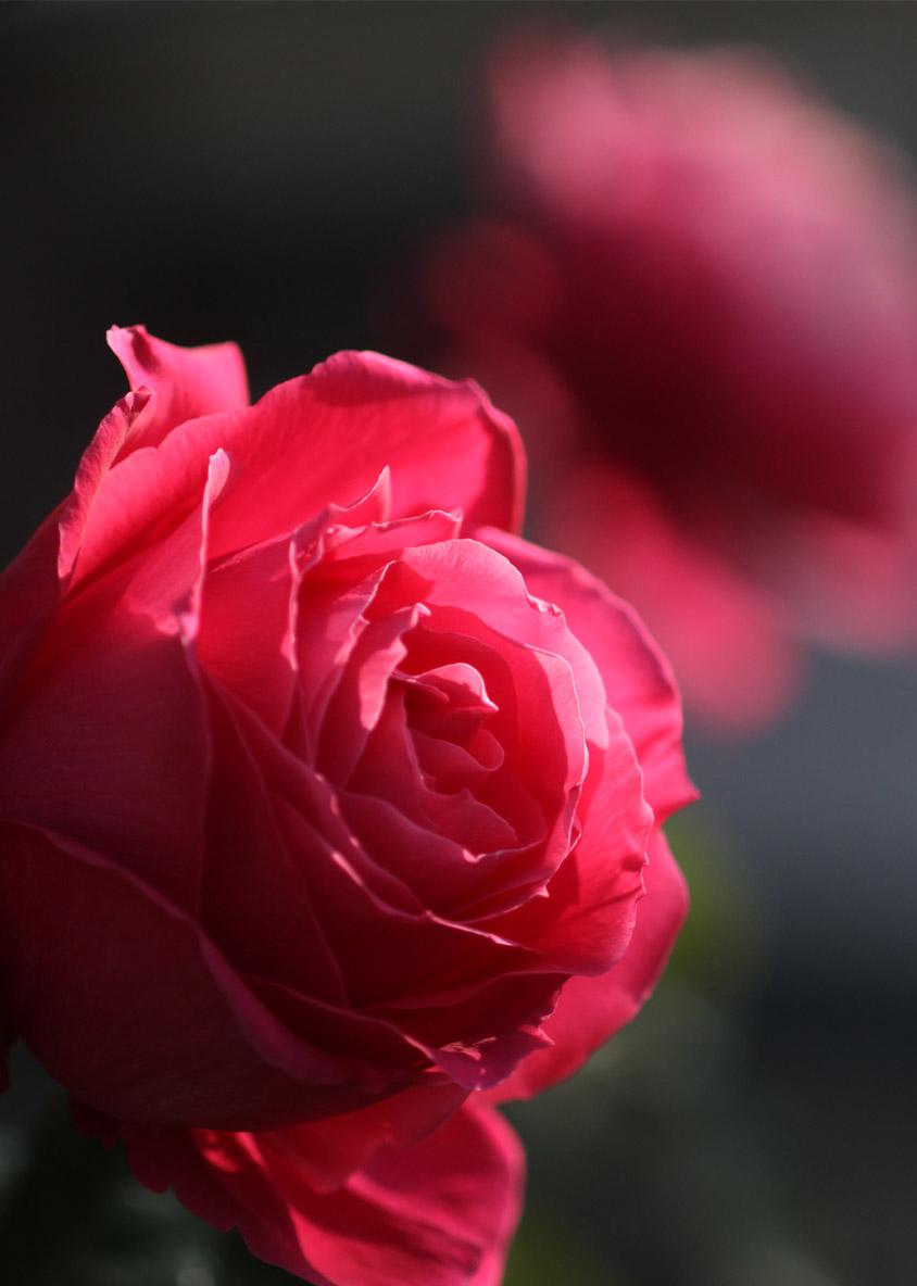 1月5日のバラ(13)