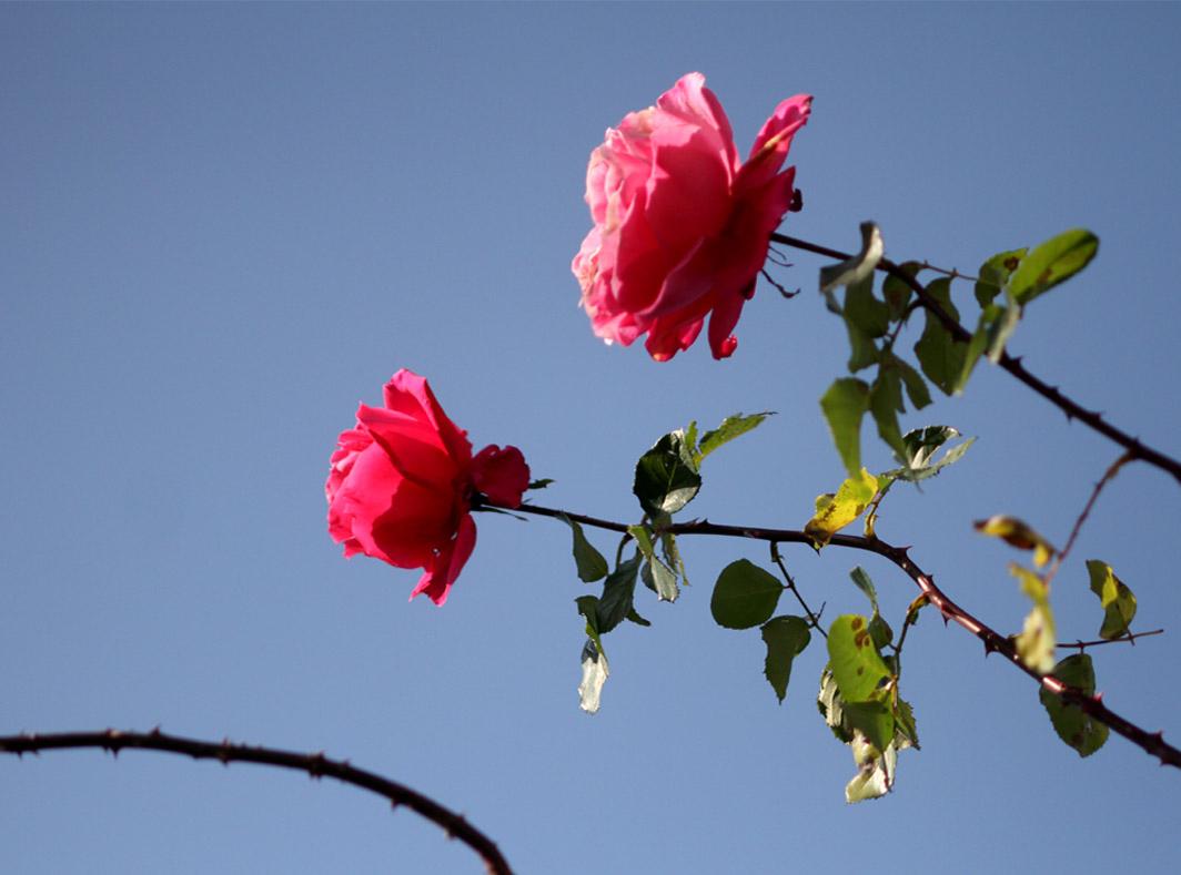 1月5日のバラ(14)