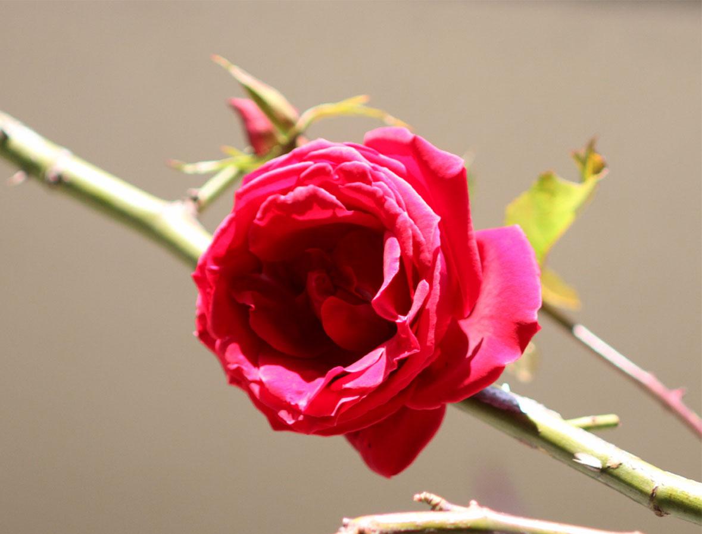 1月5日のバラ(15)